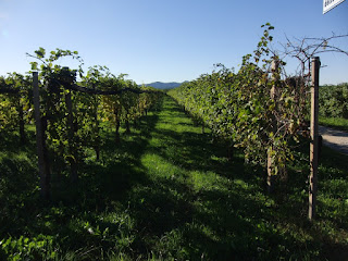 Vines growing in the Valdobbiadene region, which produces Italy's world-famous prosecco sparkling wine