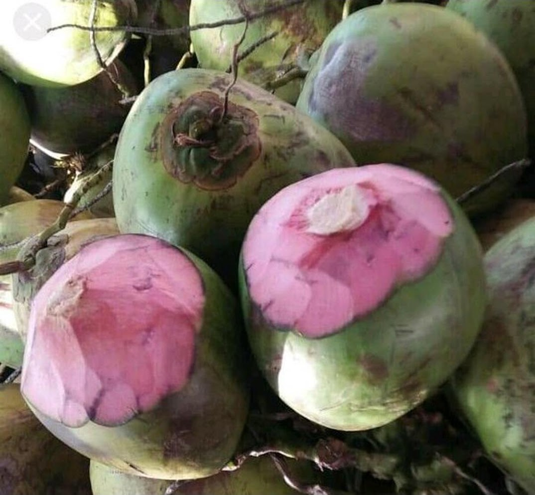 Bibit kelapa wulung kelapa pink wulung kelapa pink asli Jawa Tengah