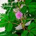 Putri Malu (Mimosa pudica) Tumbuhan Liar Unik Khas Tepi Jalan