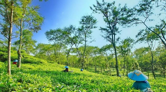 Panorama kebun teh wonosari