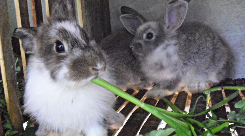 gambar kelinci rex papilon gambar kelinci sketsa makan kangkung biar sehat dan manis