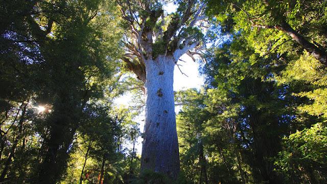 El árbol más sagrado de Nueva Zelanda, bajo amenaza por culpa de los cerdos y los humanos