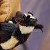 Kelelawar Unik Seperti Panda, Hitam Putih Warna Kelelawar ini, Ditemukan Peneliti