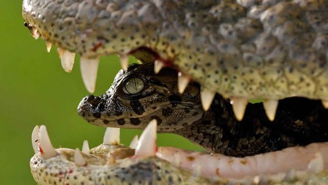صغير التمساح مع أمه