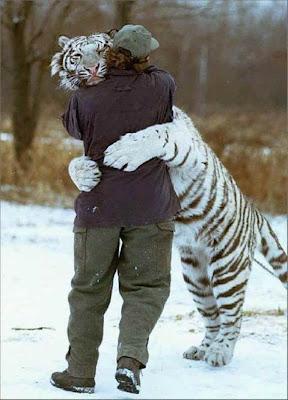 imagen de amor con un tigre blanco