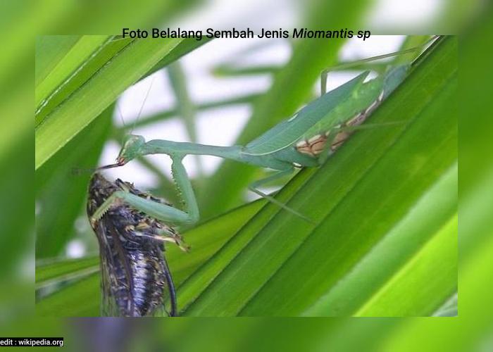 Belalang Sembah Jenis Miomantis sp