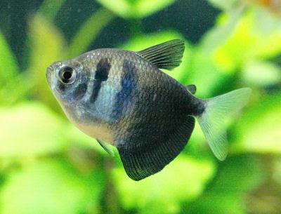 Shamudra Bilash: Tetra Fish