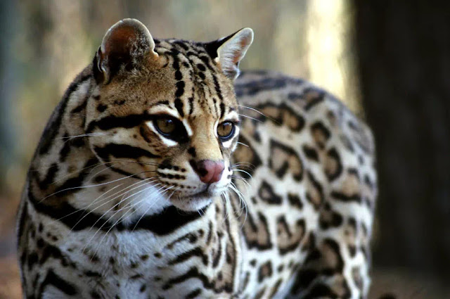 Ocelot memiliki nama latin Leopardus pardalis adalah kucing liar kecil asli Amerika Serikat bagian barat daya, Meksiko, Amerika Tengah dan Selatan. Kucing ocelot berukuran sedang mempunyai ciri bintik-bintik hitam dan garis-garis pada bulu badannya, telinga bundar, dan leher bagian bawah putih. Berat ocelot antara 8 dan 10 kg (18 dan 22 lb). Ocelot pertama kali ditemukan oleh Carl Linnaeus pada 1758. Dua subspesies dikenali: L. p. pardalis dan L. p. mitis.    Ocelot biasanya aktif selama senja & di malam hari, ocelot cenderung soliter dan teritorial. Ocelot memiliki kemampuan efisien dalam memanjat, melompat, & berenang. Ocelot memangsa mamalia terestrial kecil, seperti armadillo, opossum & lagomorph. Ocelot jantan dan ocelot betina menjadi dewasa secara seksual pada sekitar usia dua tahun; mereka dapat berkembang biak sepanjang tahun, meskipun musim kawin puncak adalah bervariasi secara geografis. Setelah masa kehamilan dua hingga tiga bulan, sang betina melahirkan satu hingga tiga anak kucing ocelot. Ocelot kecil tinggal bersama ibu mereka hingga dua tahun, setelah itu mereka pergi untuk membangun wilayah mereka sendiri. Ocelot lebih memilih daerah dengan tutupan vegetasi yang lebat, ketersediaan mangsa yang tinggi, & kedekatan dengan sumber air.