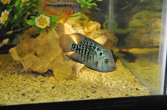 Flowerhorn The Hybrid Cichlids: Baby Kamfa Growth - fish ...