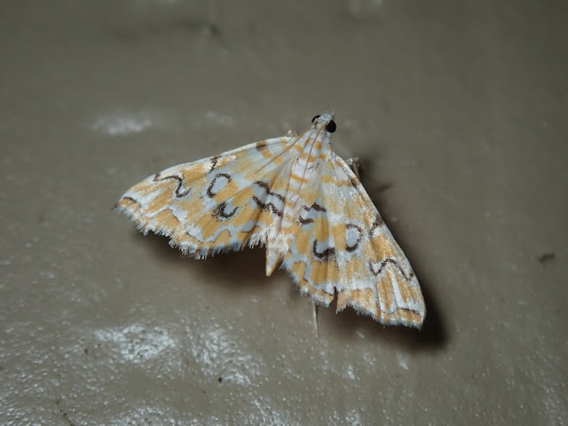 Elophila icciusalis