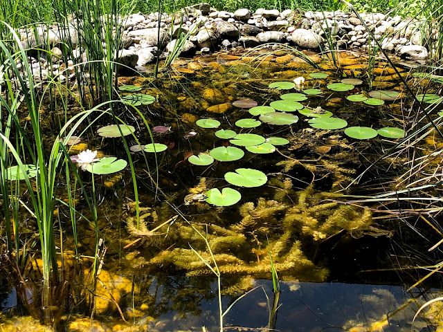 A small pond edged with stones. There are tall reed grasses growing, as well as lily pads and one white pond lily bloom. Three frogs are resting on the plants in the sun.