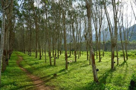 https://www.kangkaret.com/2020/03/jarak-tanam-pohon-karet-yang-ideal.html