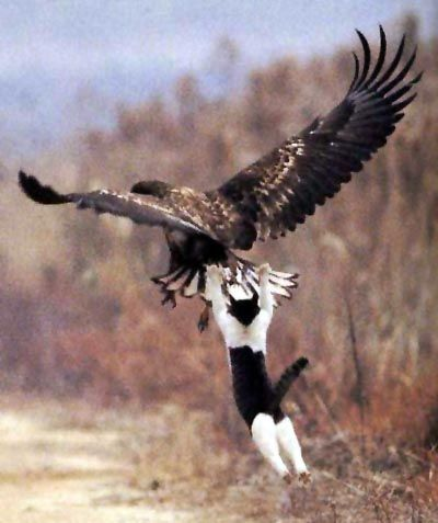 Funny Brave Eagle Hunter Cat Joke Picture