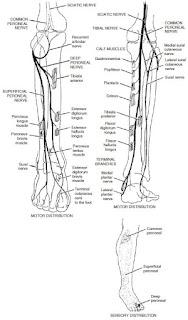 Innervation of the lower leg