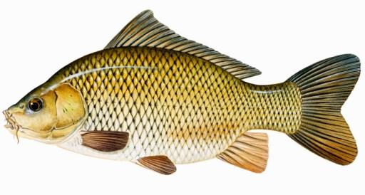 Riwayat Perubahan Ikan Mas di Indonesia