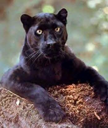 pantera negra foto