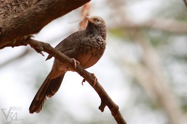 Yellow-billed Babbler or White-headed Babbler