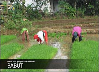 BABUT metode pengambilan bibit padi dari tempat penyemaian