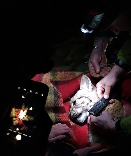 Another lynx is caught in Mavrovo