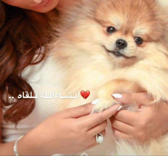 الكلب المدلل بالكويت 1500 دينار مكافأة... لمن يعثر على «شارلي»