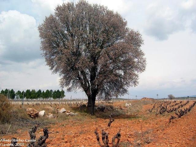 almendro-flor-landete-cuenca