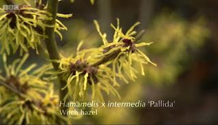 Hamamelis x Intermedia Pallida