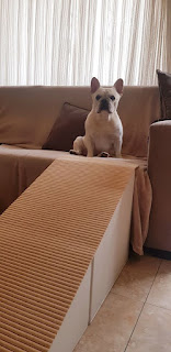 buldog no sofá