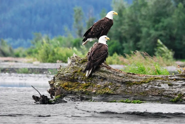 Chilkat Bald Eagle in Haines, Alaska