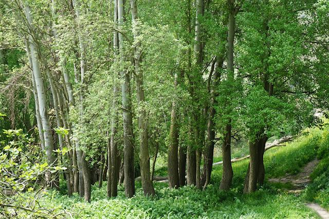 יער עבות
