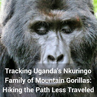 Tracking Uganda's Nkuringo Family of Mountain Gorillas: Hiking the Path Less Traveled