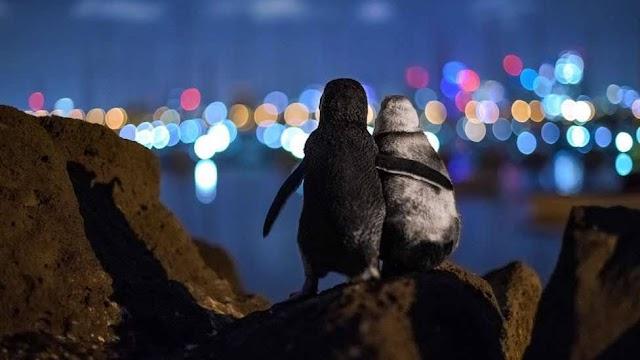 """ESPECIAL IMAGENS 2020 """"A premiada foto de pinguins viúvos que parecem se confortar sob as luzes da cidade"""""""