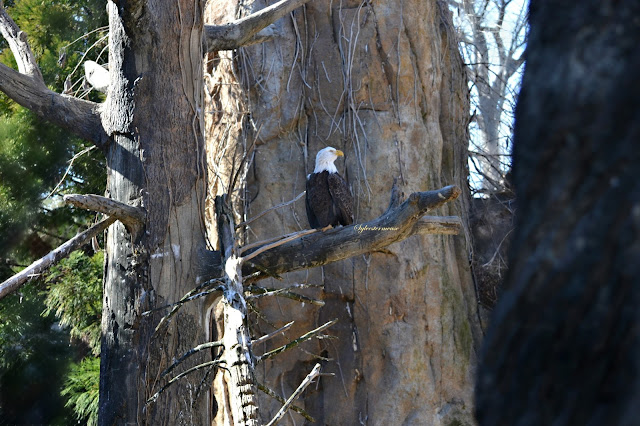 Bald Eagle photo by Sylvestermouse