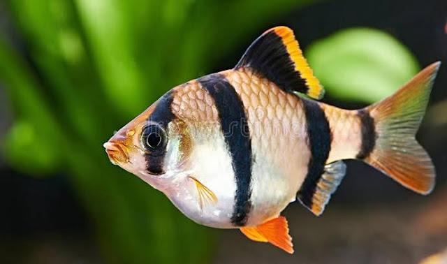Ciri Ciri Ikan Tiger Barb