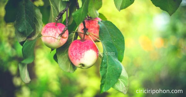 Pohon Apel