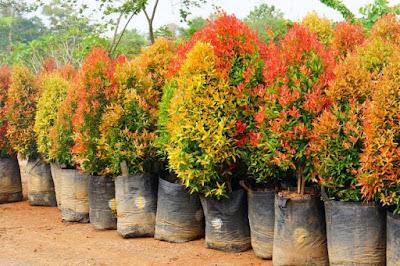Tukang Taman Surabaya Menjual Pucuk Merah Harga Murah
