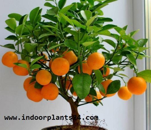 ClTROFORTUNELLA X MICROCARPUS PLANT