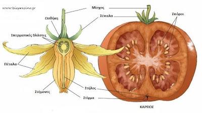 Όλα όσα πρέπει να γνωρίζουμε για την ντομάτα