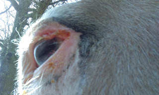 PSSM horse, eyelid tumor surgery, trailer spasms