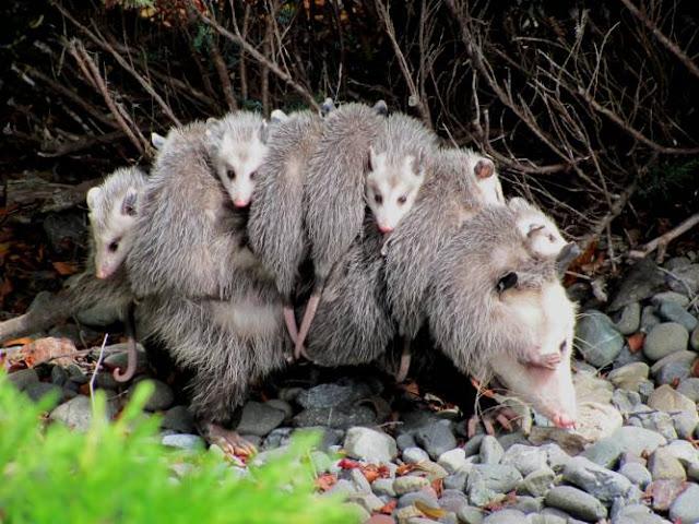 La Zarigüeya: es el único marsupial mexicano