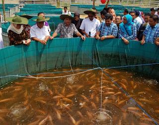Analisis Budidaya Ikan Nila 1000 Ekro Dari Ukuran Komal Yang Tepat