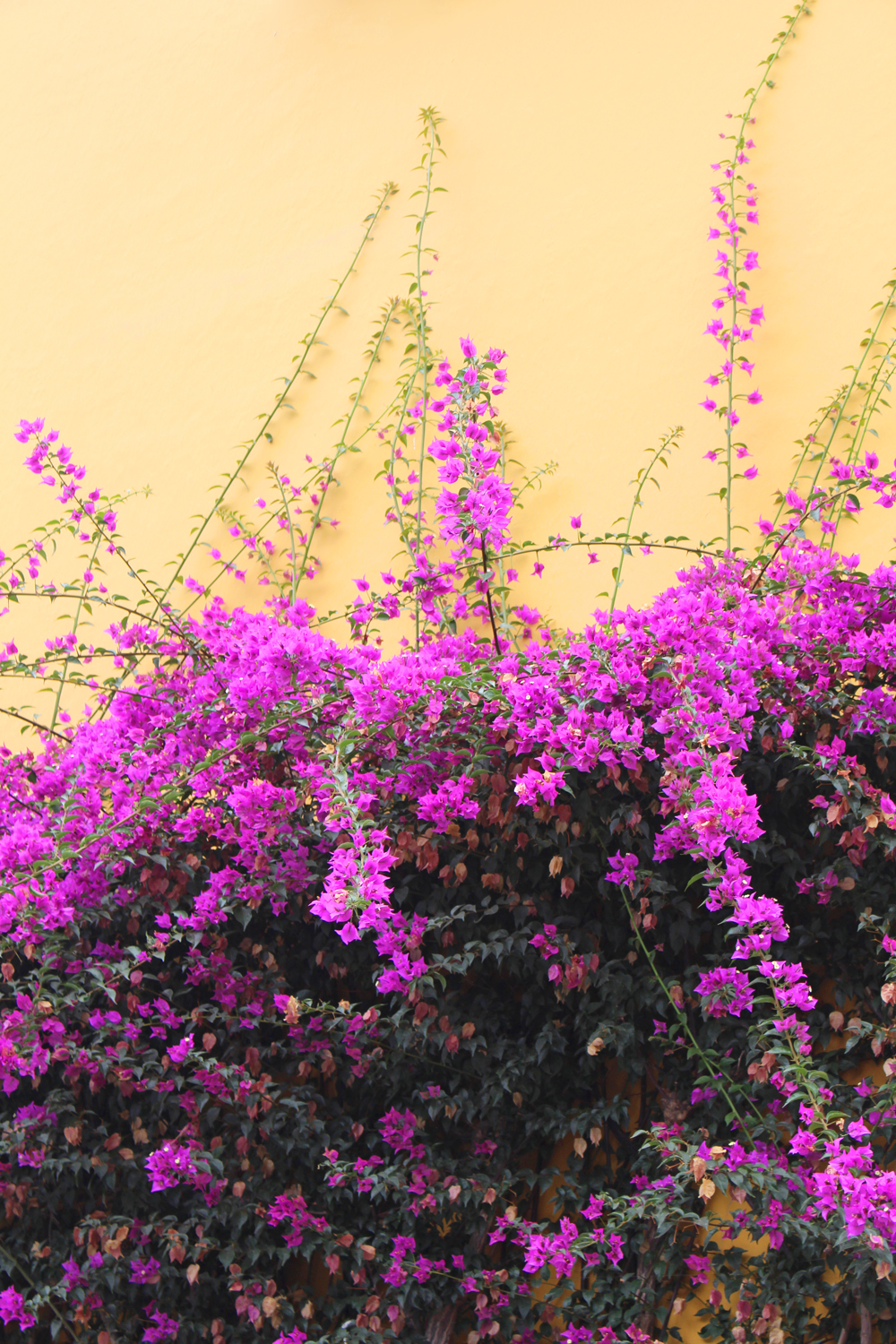 Bougainvillea in Lima, Peru - travel blog