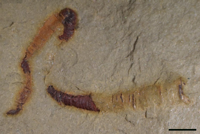 Scientists find oldest-known fossilized digestive tract at 550 million years