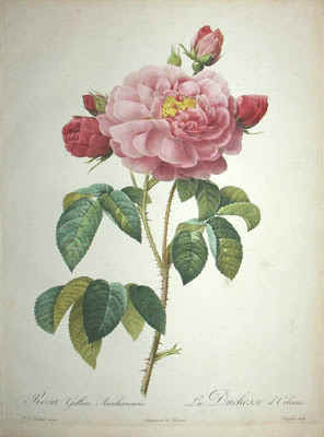 Rosa gallica aurelianensis by Pierre Joseph Redoute