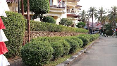 Jual pohon teh tehan - www.suryataman.com