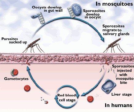 Asexual life cycle of plasmodium malariae