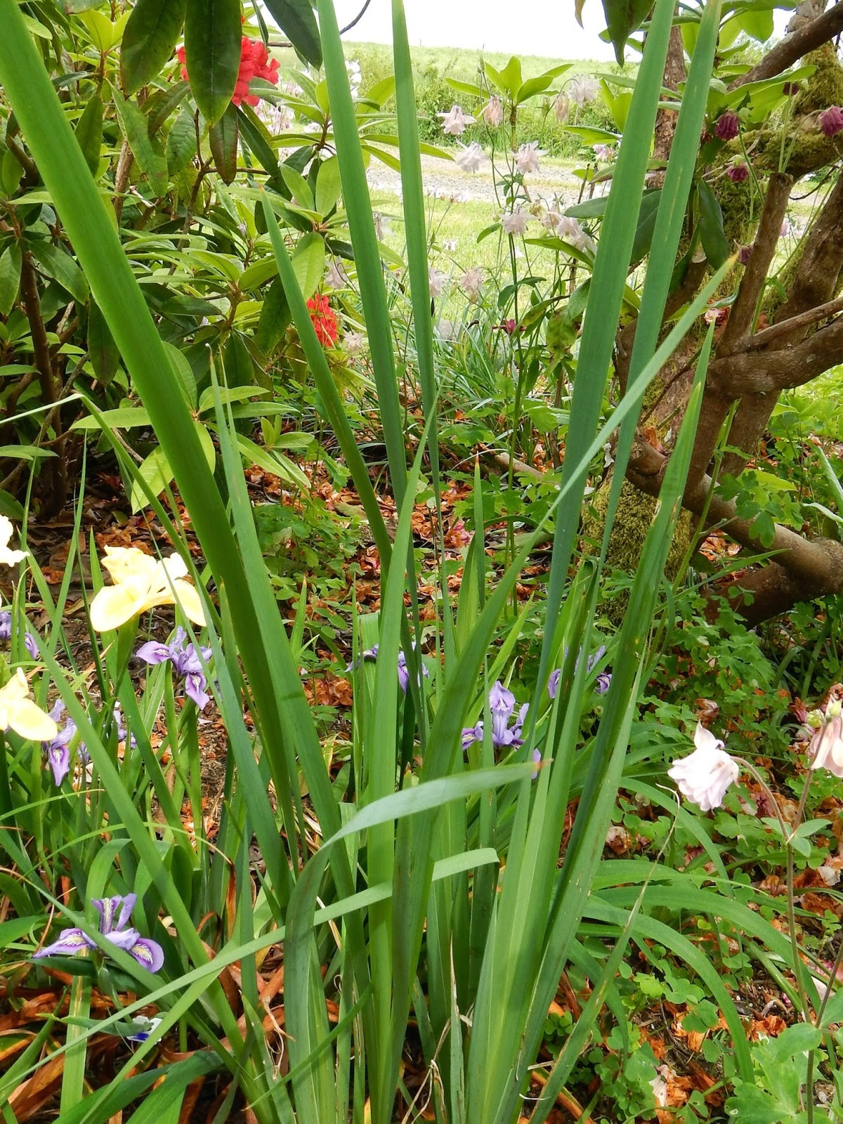 World of irises november 2014 the clue that this clump is not a pacifica iris the leaves were three to four times as tall as the other irises around it izmirmasajfo Images