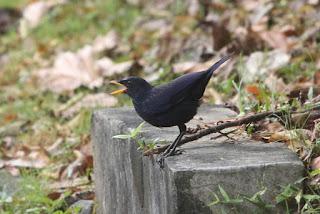 langkawi birdwatching
