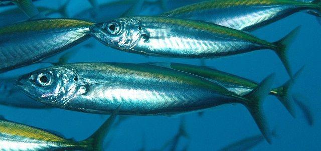 Gambar dan Foto Ikan Teri
