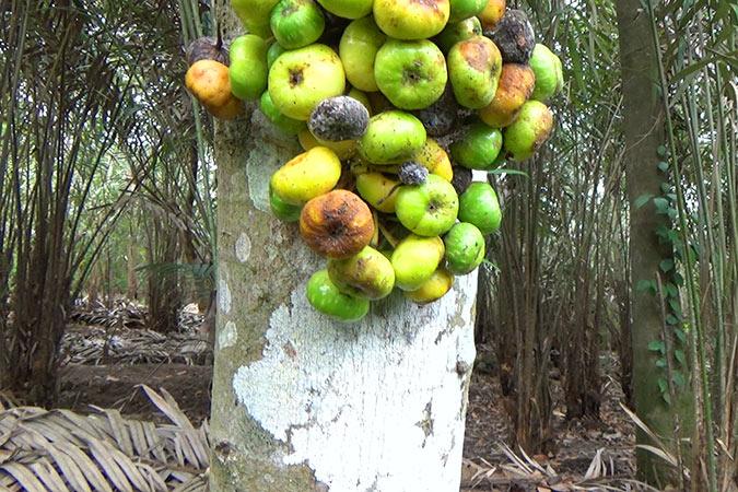 Dlium Common red stem fig (Ficus variegata)