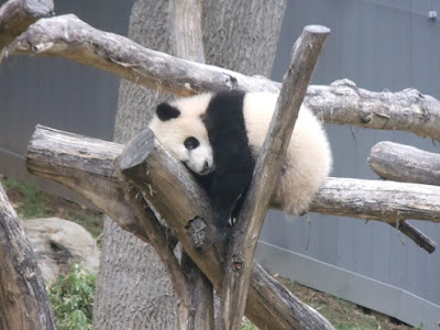 National Zoo Bei Bei sleeping